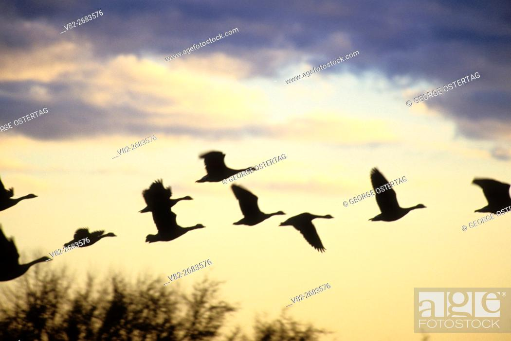 Stock Photo: Canada geese silhouette in flight, William Finley National Wildlife Refuge, Oregon.