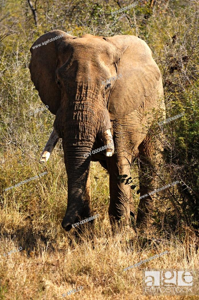 Stock Photo: Old elephant bull coming out of the bush, African Elephant Loxodonta africana, Madikwe Game Reserve, South Africa.