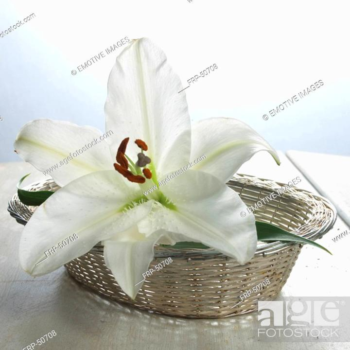 Stock Photo: White lily blossom in a basket.