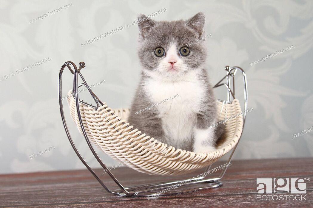 Imagen: sitting British Shorthair Kitten.