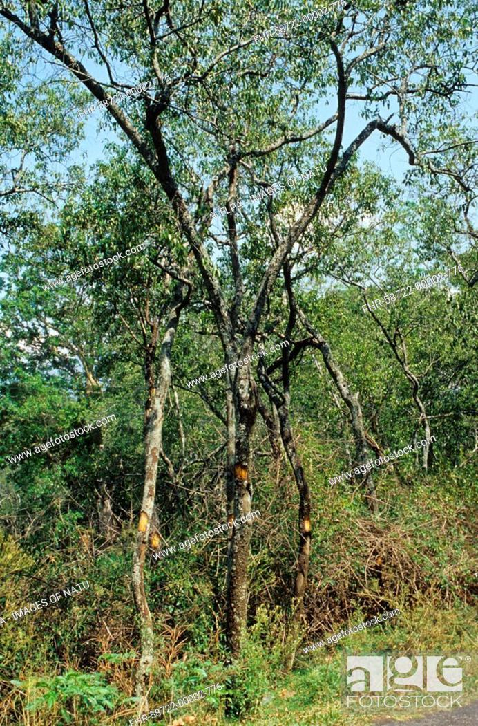 Sandalwood Santalum album mature trees in plantation