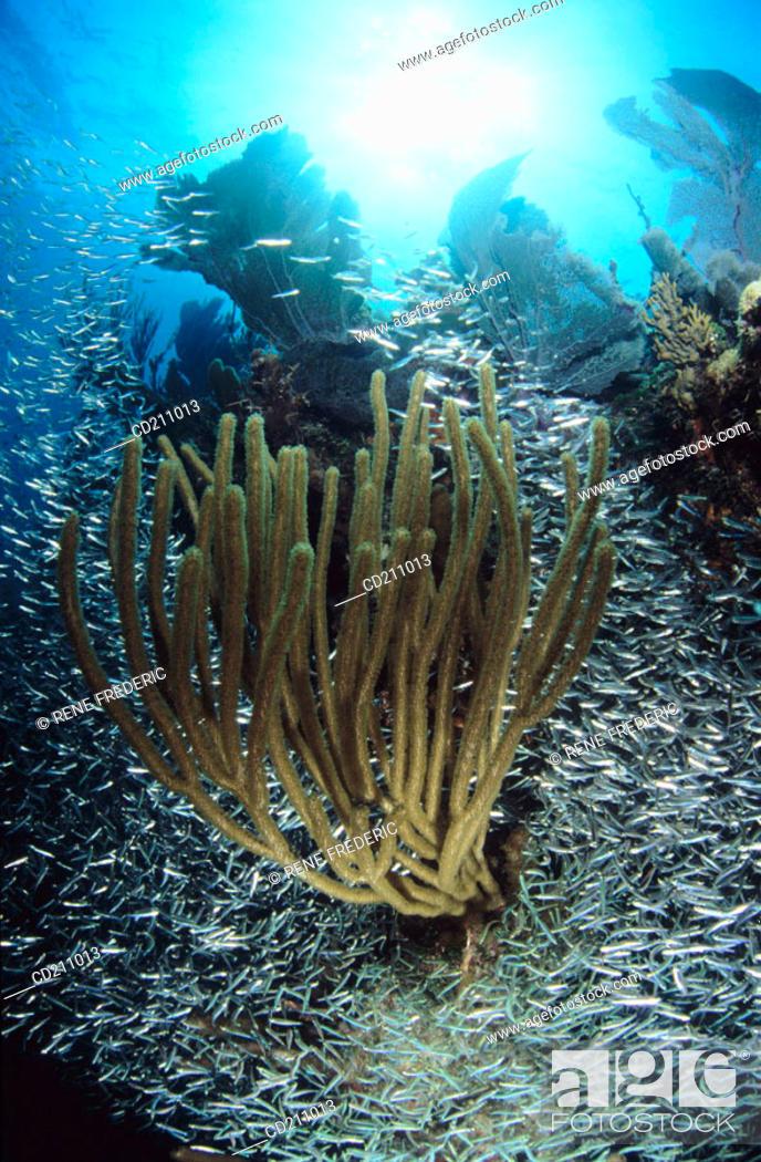 Stock Photo: Silversides (fam. Atherinidae) surrounding soft coral. Key Largo, Florida. USA.