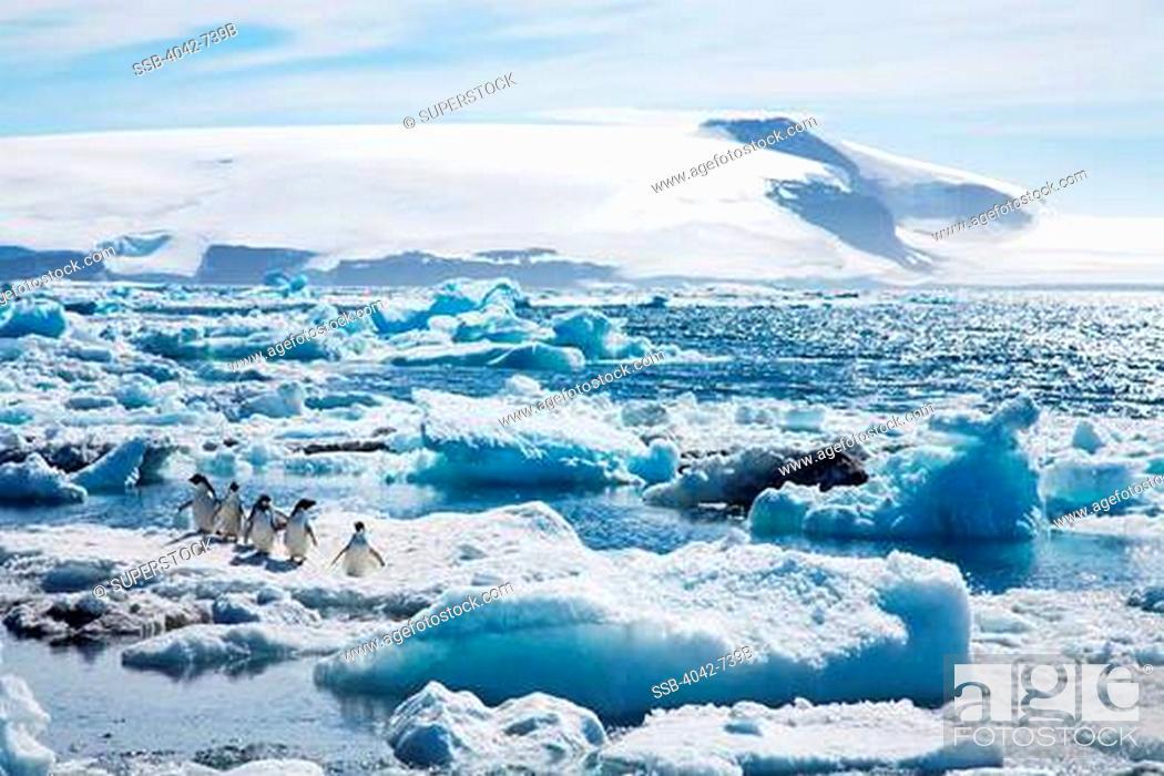 Stock Photo: Adelie penguins Pygoscelis adeliae on pack ice, Paulet Island, Antarctic Peninsula, Antarctica.