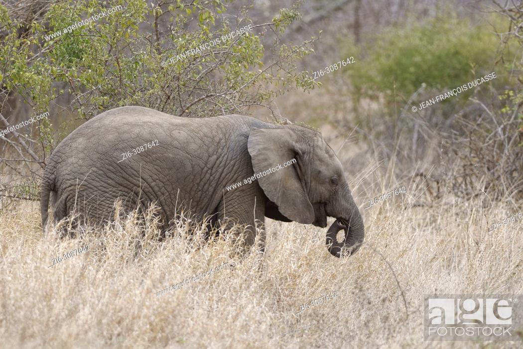Stock Photo: African bush elephant (Loxodonta africana), animal baby feeding on dry grass, Kruger National Park, South Africa, Africa.