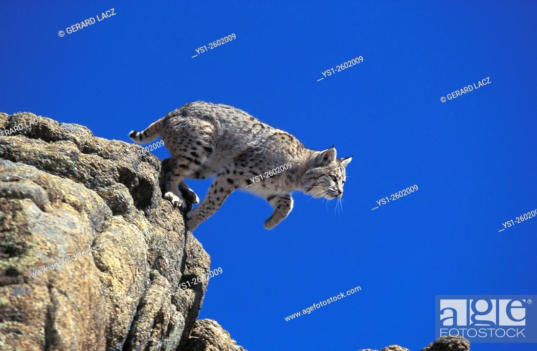 Imagen: Bobcat, lynx rufus, Adult leaping from Rocks, Canada.