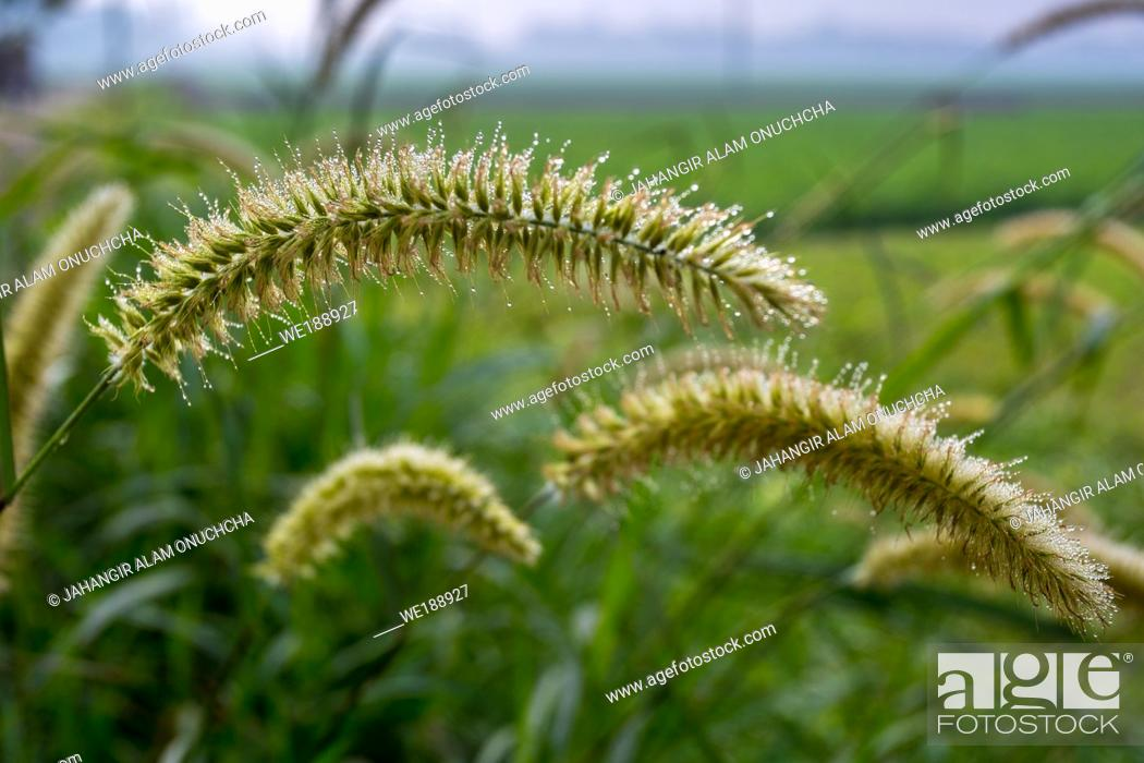 Stock Photo: Winter morning dew drops on wet Setaria faberi (foxtail) plants.