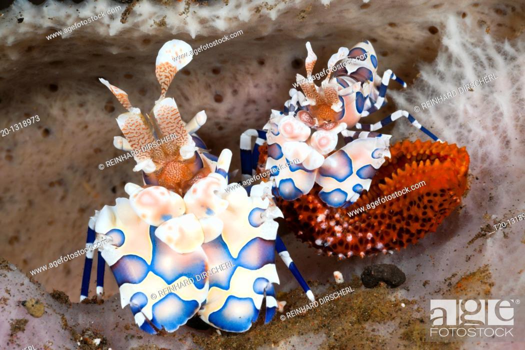 Stock Photo: Pair of Harlequin Shrimps, Hymenocera elegans, Alam Batu, Bali, Indonesia.