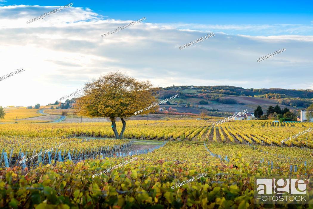 Stock Photo: Couleurs d'automne et vignes de Frontenas, Beaujolais, France.