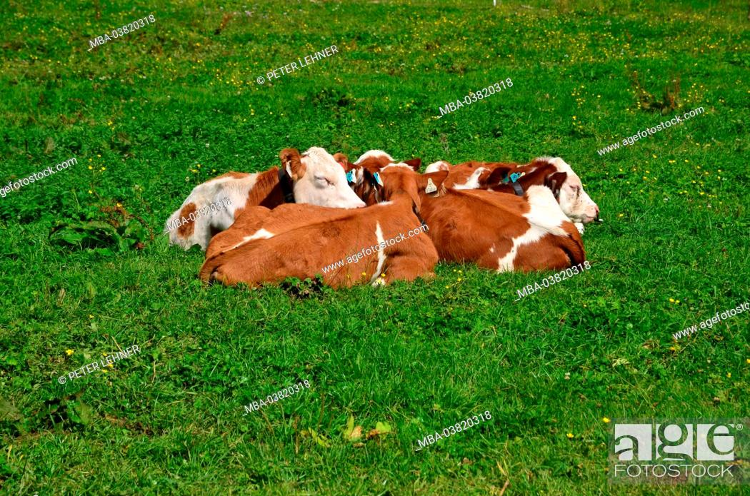 Stock Photo: Austria, Tyrol, Eng, nature reserve, alp area, cows,.