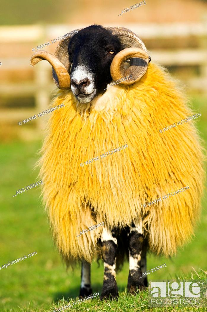 Livestock Hexham Type Blackface Ram Blackface Sheep From