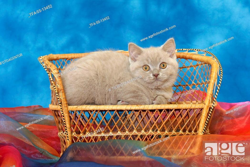 Stock Photo: British Shorthair kitten on bench.