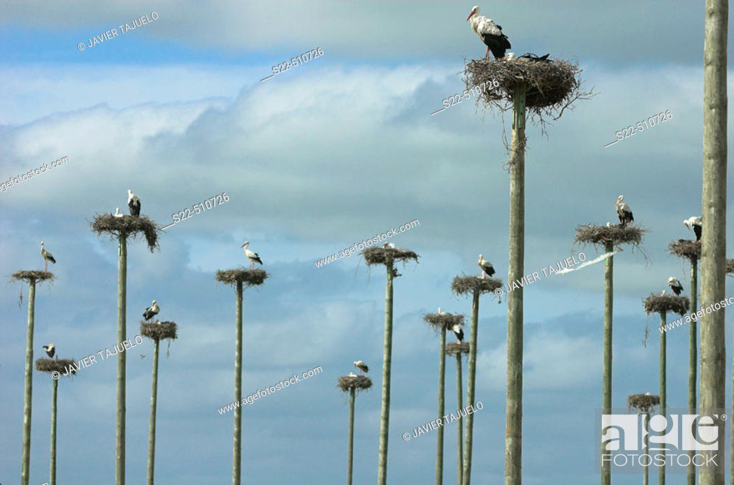 Stock Photo: White Stork (Ciconia ciconia) nesting on wooden poles. Cáceres province, Extremadura, Spain.