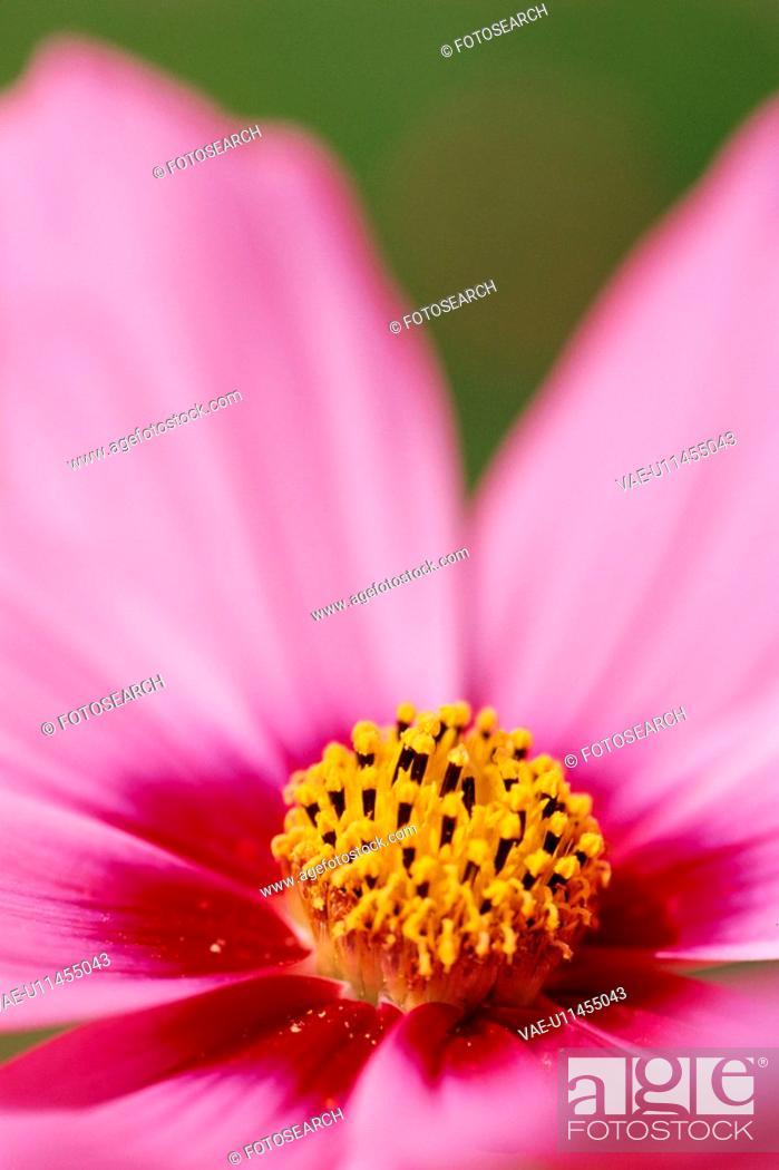 Stock Photo: Stamen Of Pink Flower.
