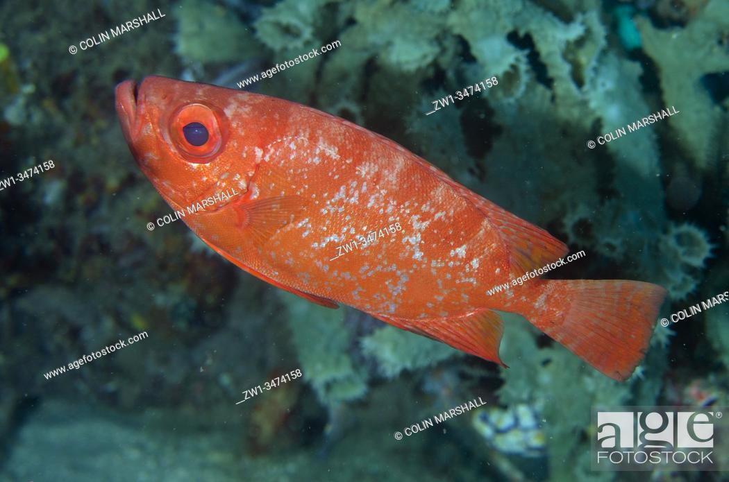 Stock Photo: Bloch's Bigeye (Priacanthus blochii, Priacanthidae Family), Sampiri 3 dive site, Bangka Island, north Sulawesi, Indonesia, Pacific Ocean.