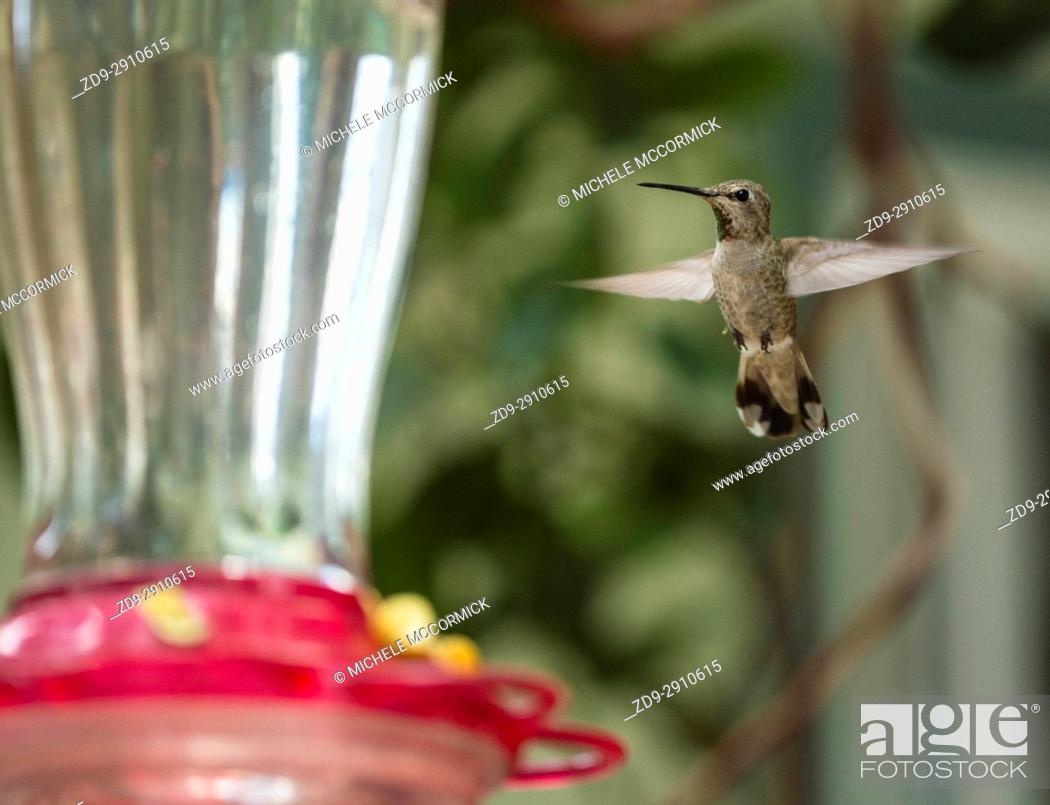 Stock Photo: A hummingbird hovers.