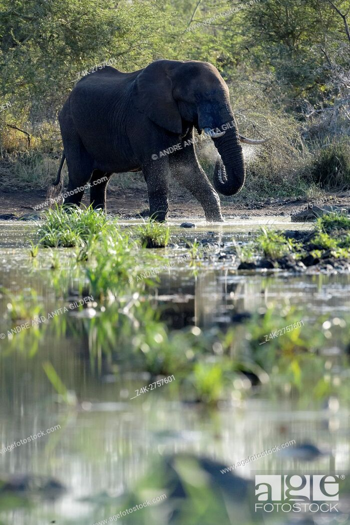 Stock Photo: African Elephant (Loxodonta africana) drinking water, backlit, Kruger National Park, South Africa.