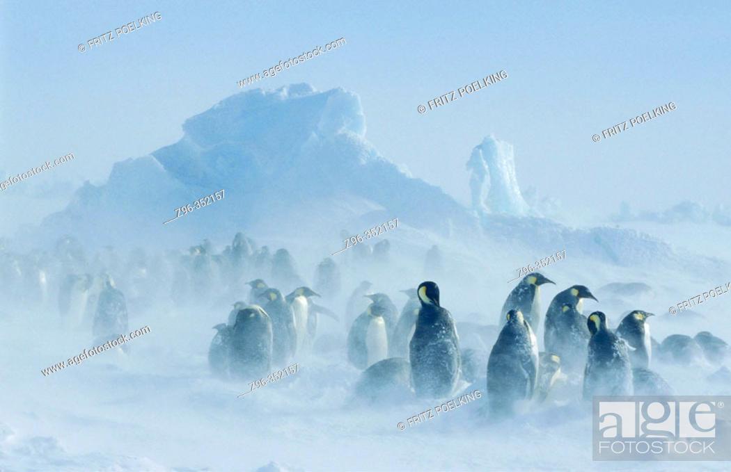 Stock Photo: Emperor Penguins (Aptenodytes forsteri). Dawson-Lambton glacier, Antarctica.