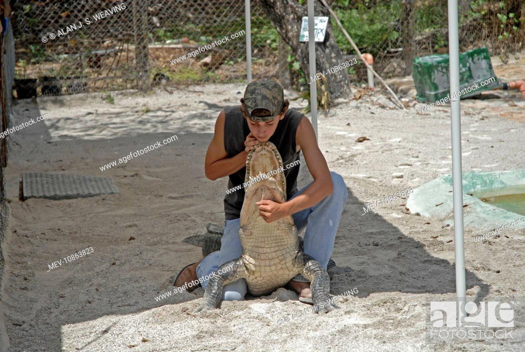 Stock Photo: Alligator wrestler handling full-sized alligator (Alligator mississippiensis). Fort Lauderdale, Florida, USA. Tourist tours of Everglades in airboats often.