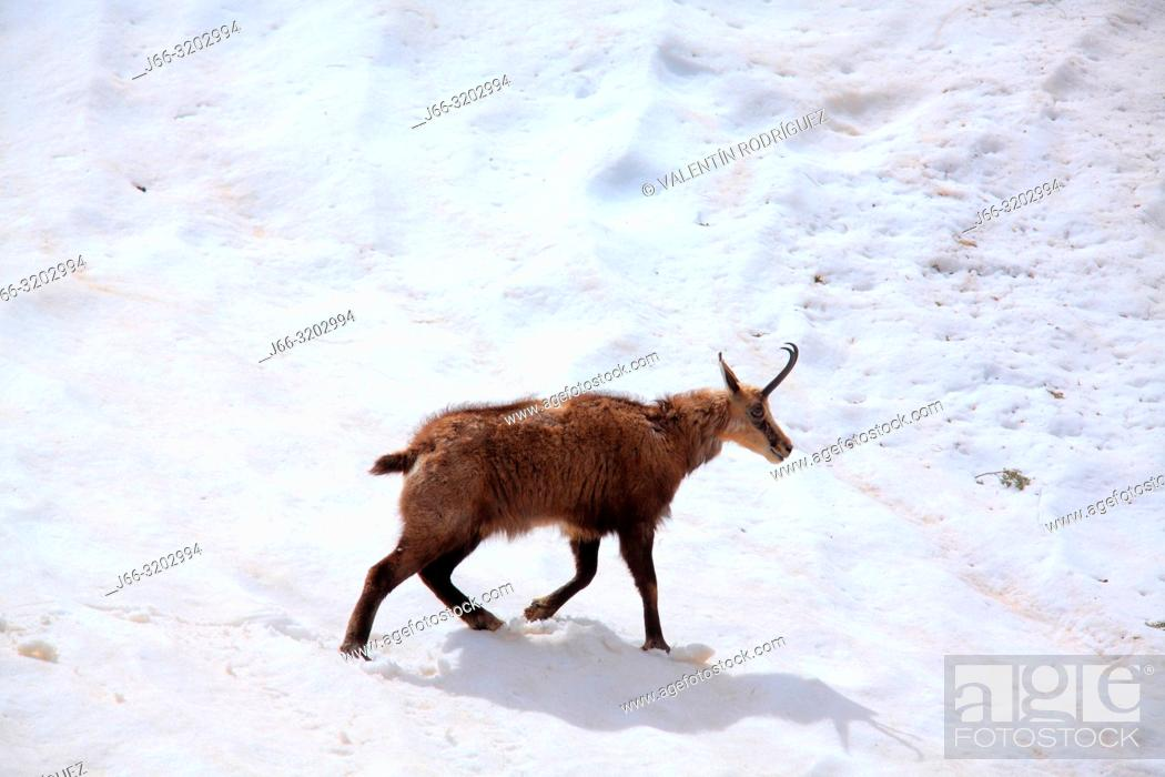 Imagen: Chamois (Rupicapra rupicapra) walking through the snow in the National Park Gran paradiso. Italy.