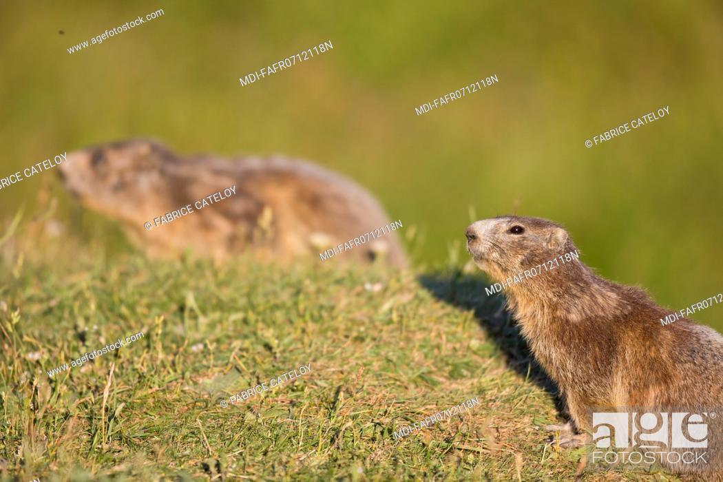 Stock Photo: Nature - Fauna - Marmot - Marmots in the natural regional park of Queyras.