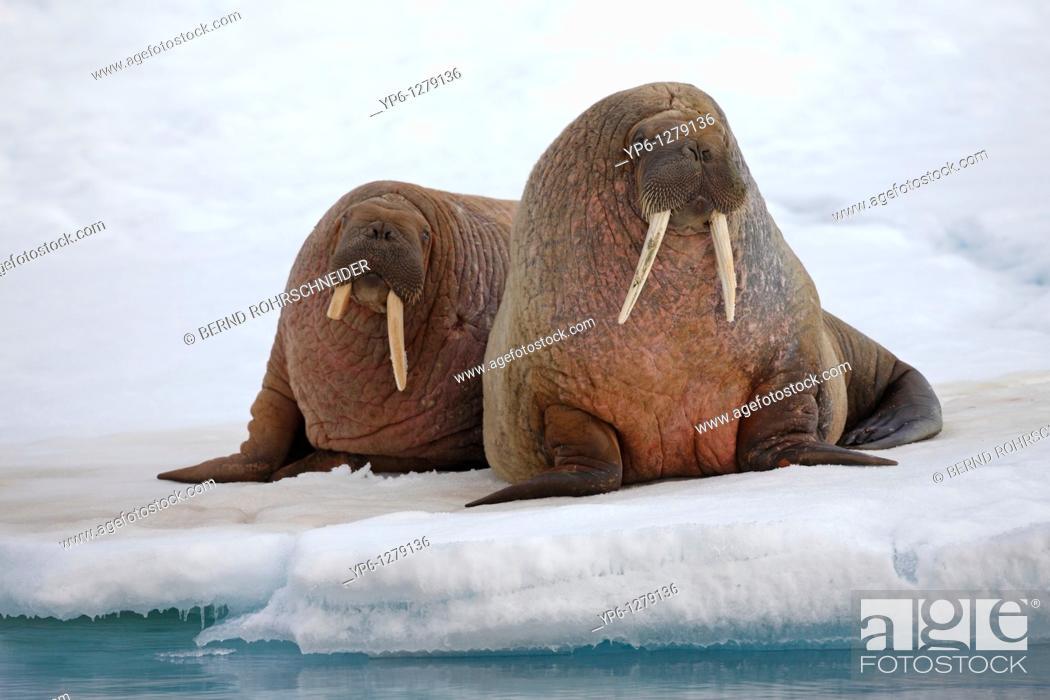 Stock Photo: two Walruses, Odobenus rosmarus, resting on ice floe, Spitsbergen, Svalbard.
