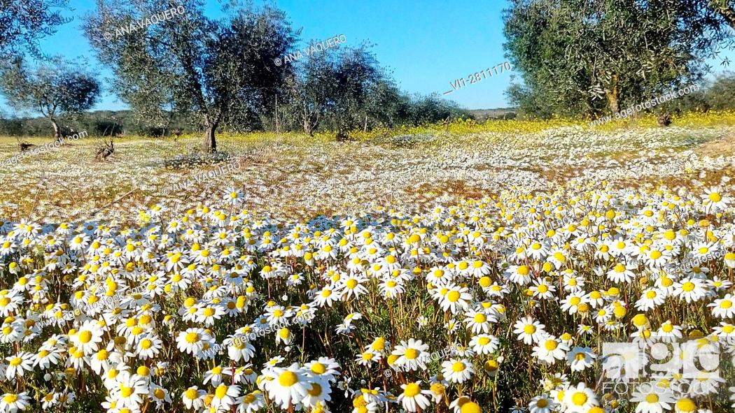 Stock Photo: Olivar with daisies, Escurial, Cáceres, Extremadura, Spain.