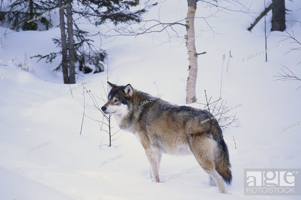 Stock Photo: Wolf (Canis lupus), Dalarna, Sweden.