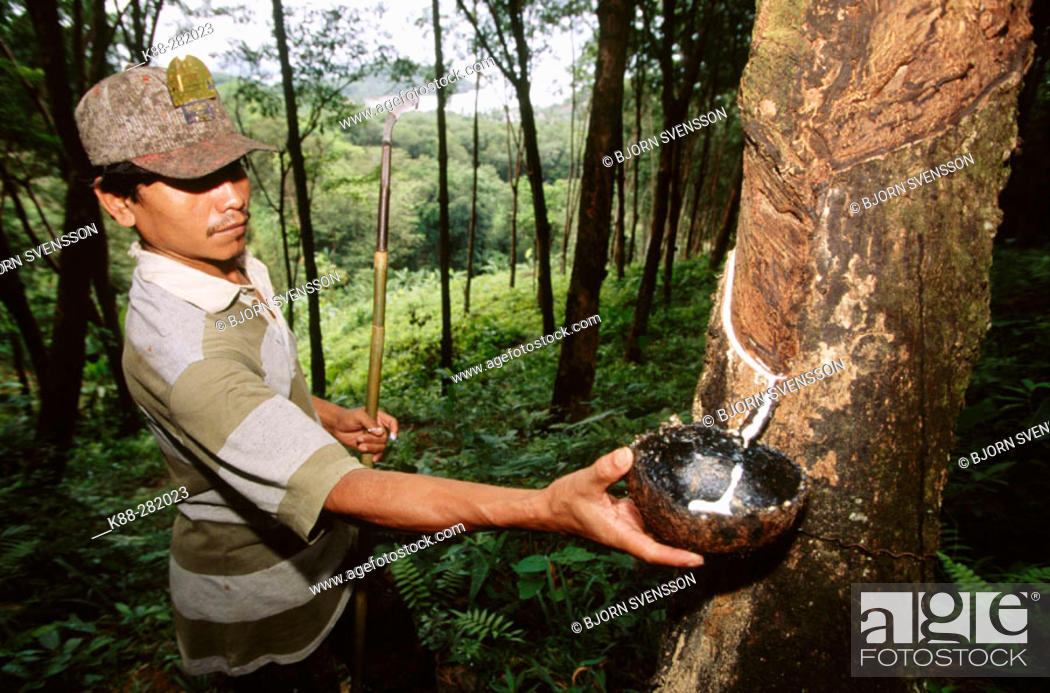 Stock Photo: Rubber tapper at work. Phuket. South Thailand.