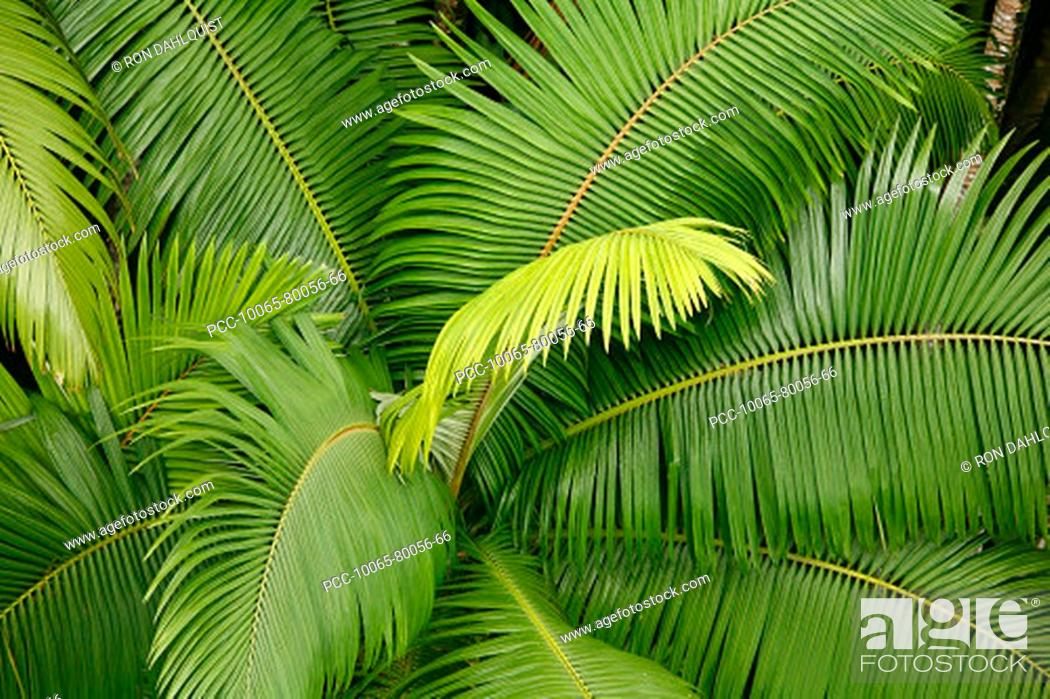 Stock Photo: Hawaii, Close-up of the top of a palm tree.