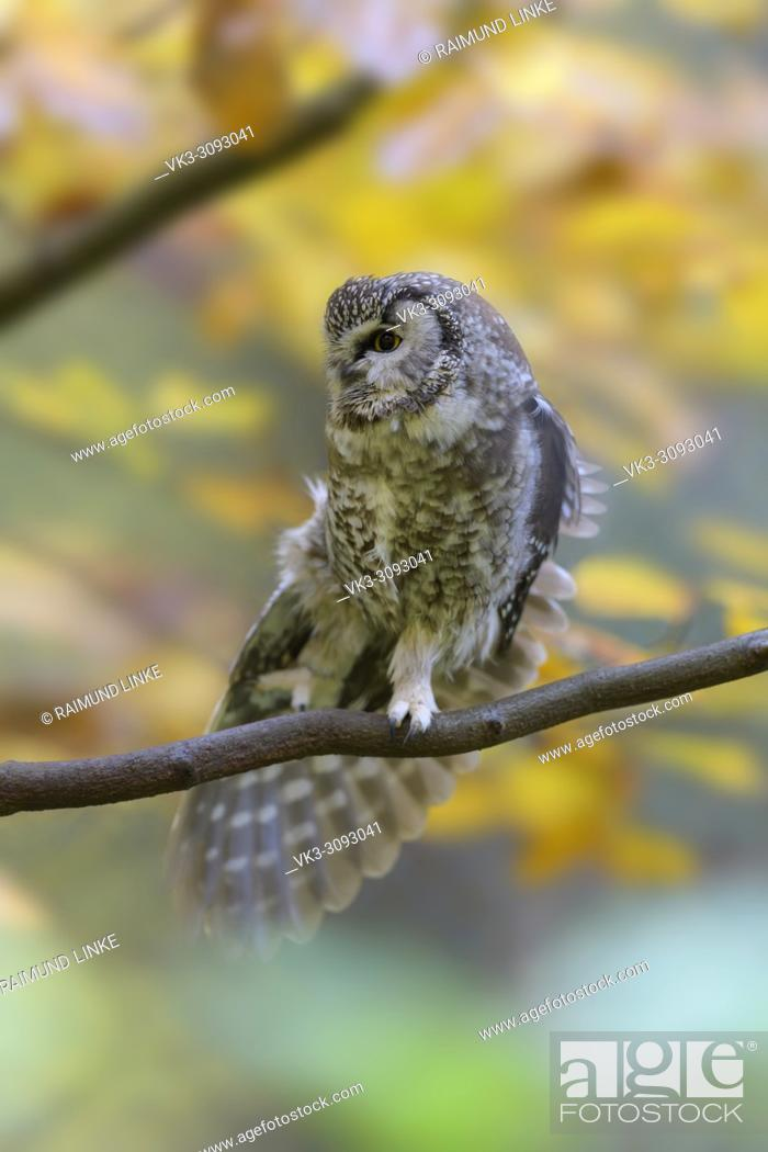 Photo de stock: Tengmalm's Owl, Aegolius funereus, autumn, Germany.