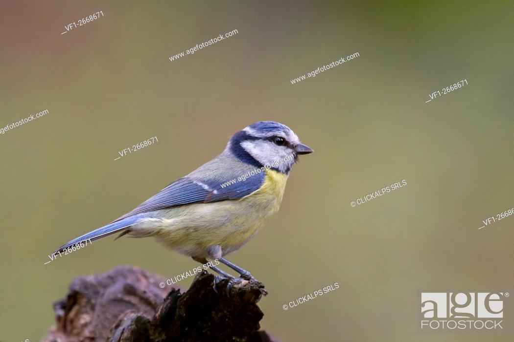 Stock Photo: Adamello Natural Park, Lombardy, Italy. Cyanistes caeruleus.