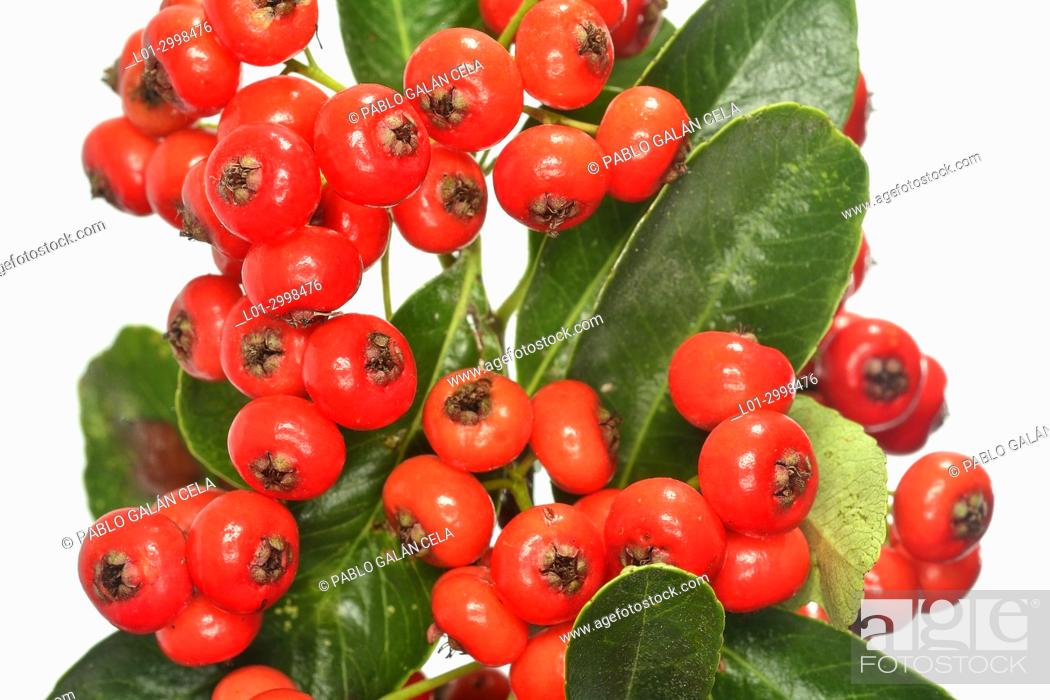 Imagen: Pyracantha coccinea, fruits on white background.