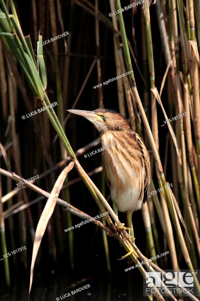 Stock Photo: Chick of little bittern on a cane - ixobrychus minutus - Italy.