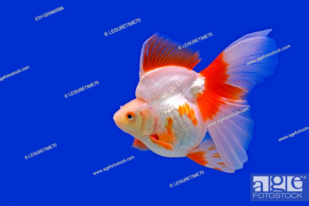 Beautiful Goldfish In The Aquarium Stock Photo Picture And Low Budget Royalty Free Image Pic Esy 029460586 Agefotostock
