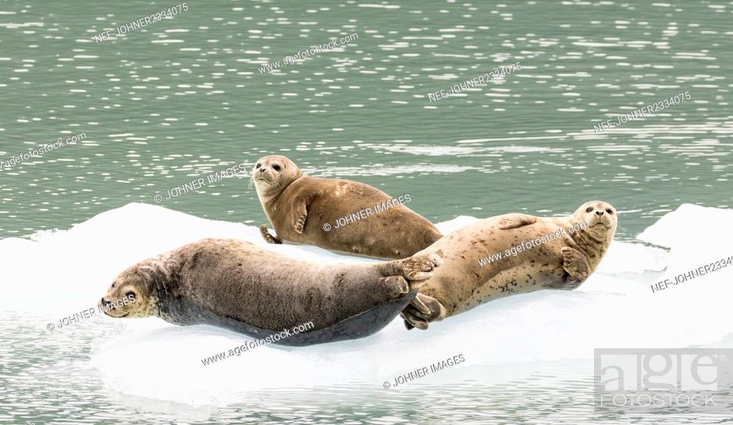 Stock Photo: Seals on ice floe.