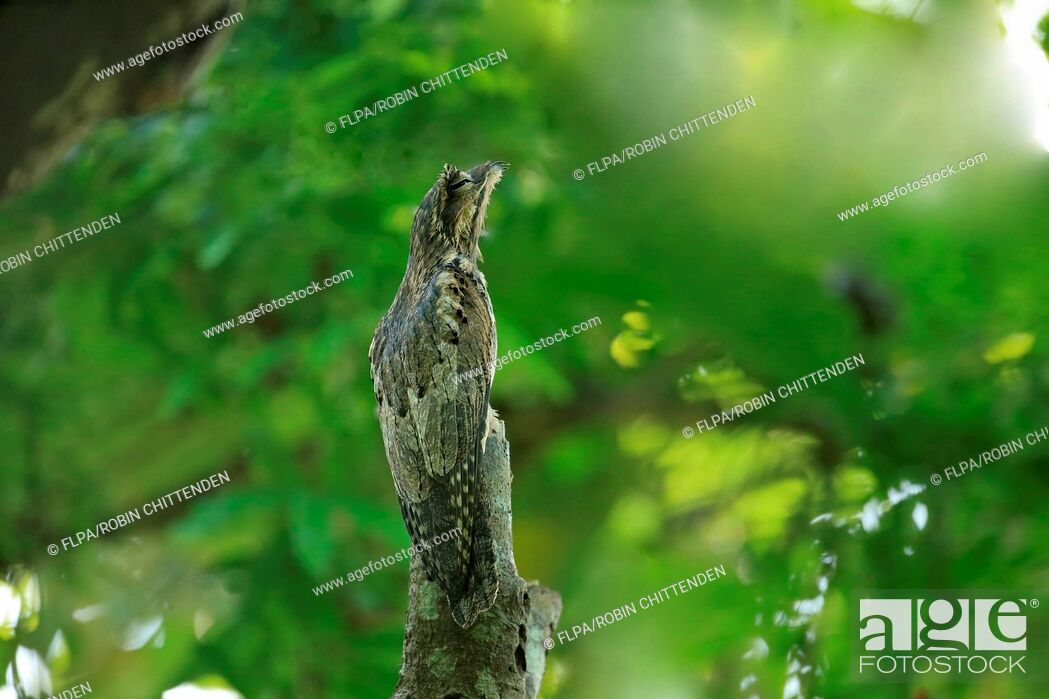 Stock Photo: Common Potoo (Nyctibius griseus) adult, roosting on branch during daytime, Trinidad, Trinidad and Tobago, March.