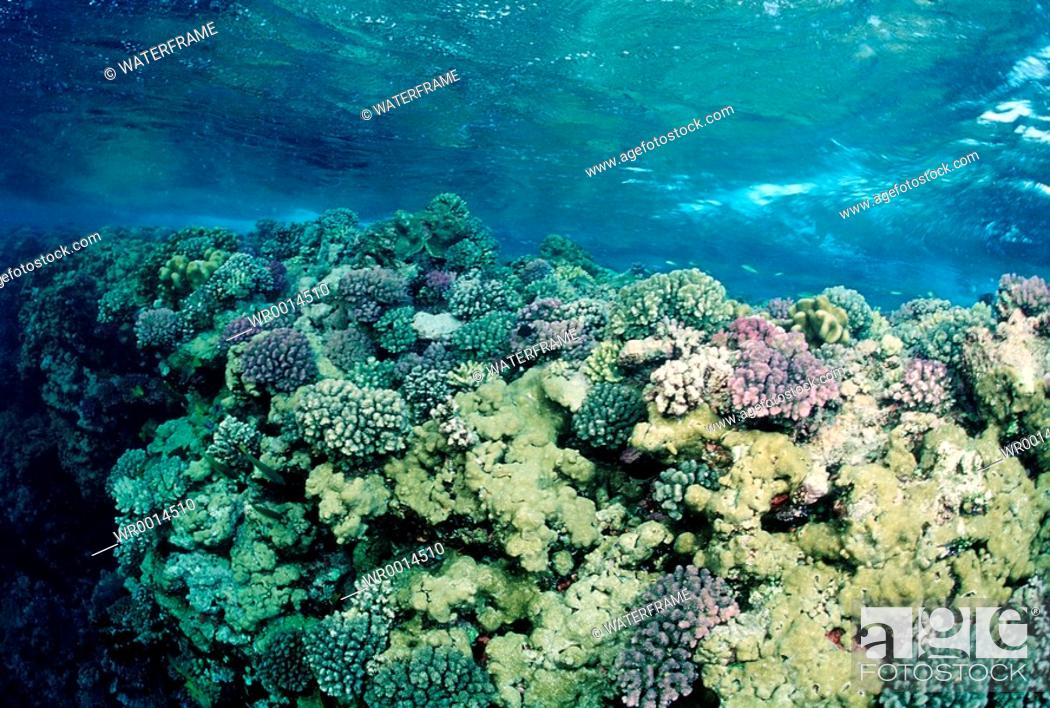 Stock Photo: Reeftop with Corals, Red Sea, Sudan.