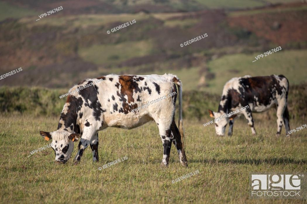 Stock Photo: Cows grazing in field, La Hague, Normandy, France.