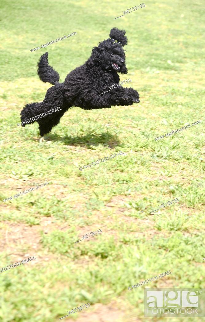 Playful Black Miniature Poodle running on the grass outside, Stock