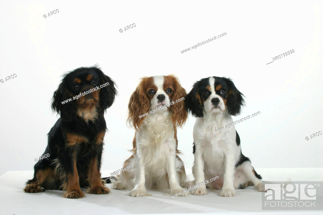 Stock Photo: Cavalier, King, Charles, Spaniel, black-and-tan, tricolor, and, Blenheim.