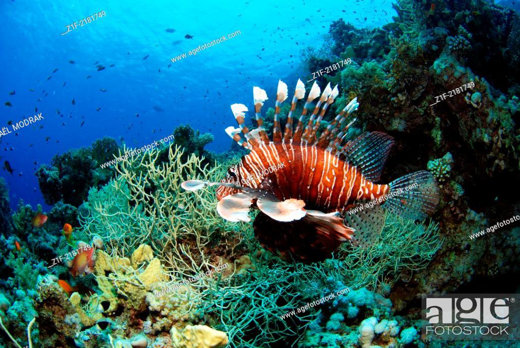 Stock Photo: Common lionfish swimming in the north of Egypt, Ras Mohamed reef, Red Sea. Pterois volitans.