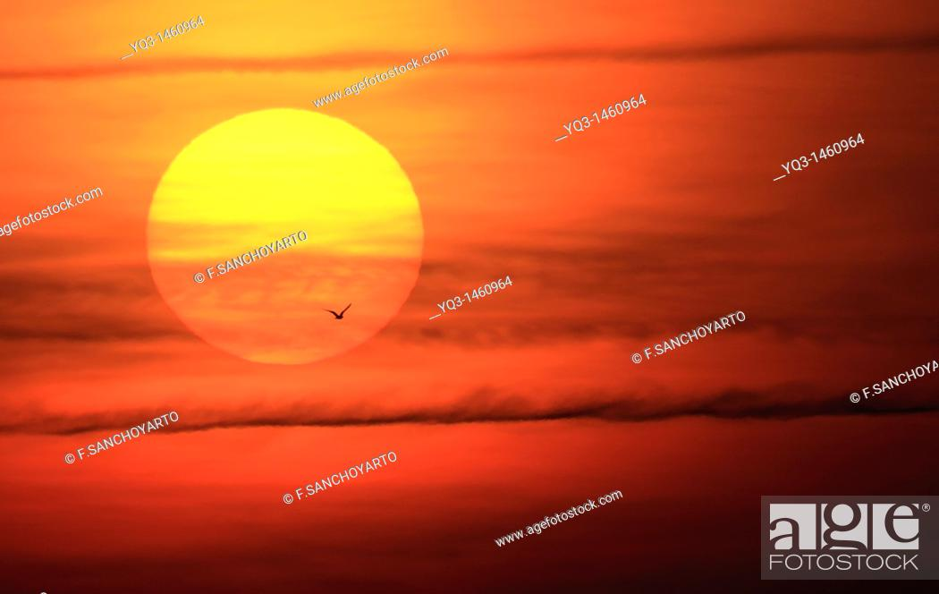 Stock Photo: Gull crossing in front of the sun at sunrise.
