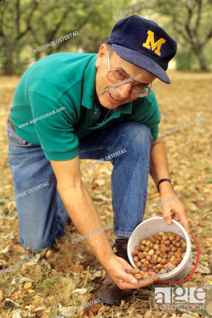 Stock Photo: Hazelnut collecting, Willamette Mission State Park, Oregon.