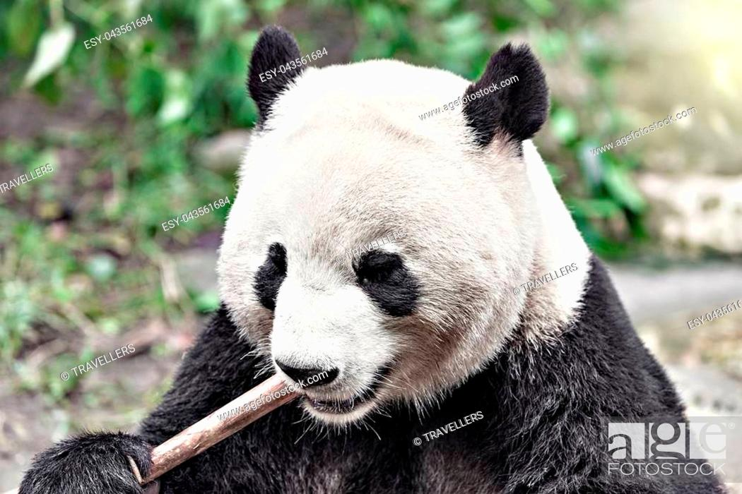 Stock Photo: Giant Panda eats bamboo in the park at sunset.