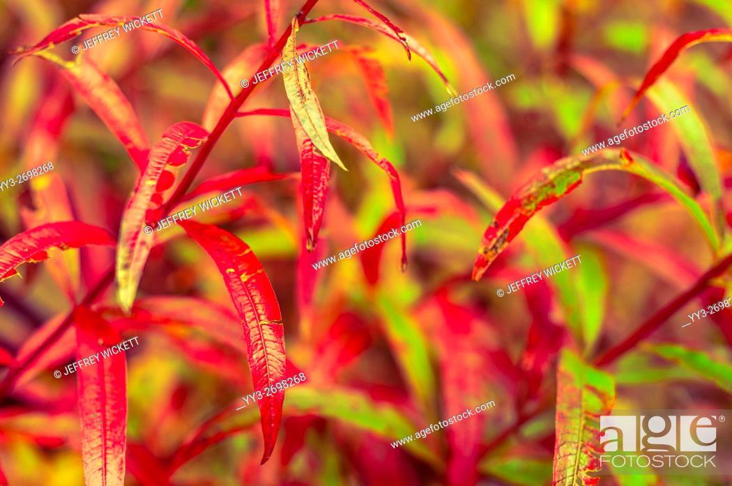Stock Photo: Fireweed nearing the end of it's life cycle on Baranof Island near Sitka, Alaska, USA.