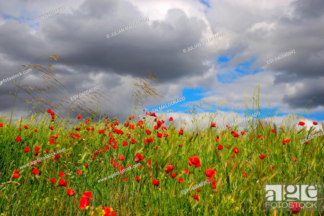 Stock Photo: Barley and Poppies in spring in Viso del Marques, Ciudad Real, Spain.