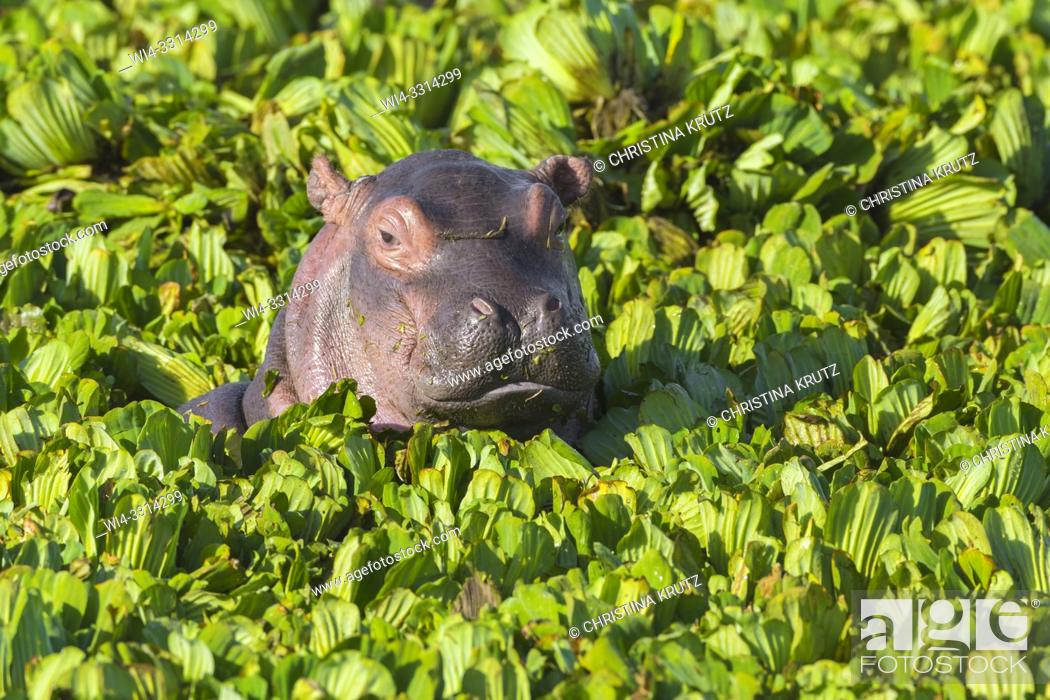 Stock Photo: Young Hippopotamus (Hippopotamus amphibus) in a pond covered with water lettuce, Masai Mara National Reserve, Kenya, Africa.
