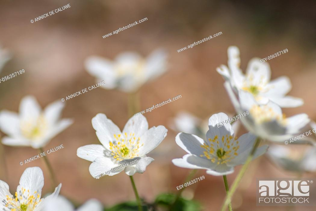 Stock Photo: Anemone nemorosa, Wood anemone in close up. Early spring flower.