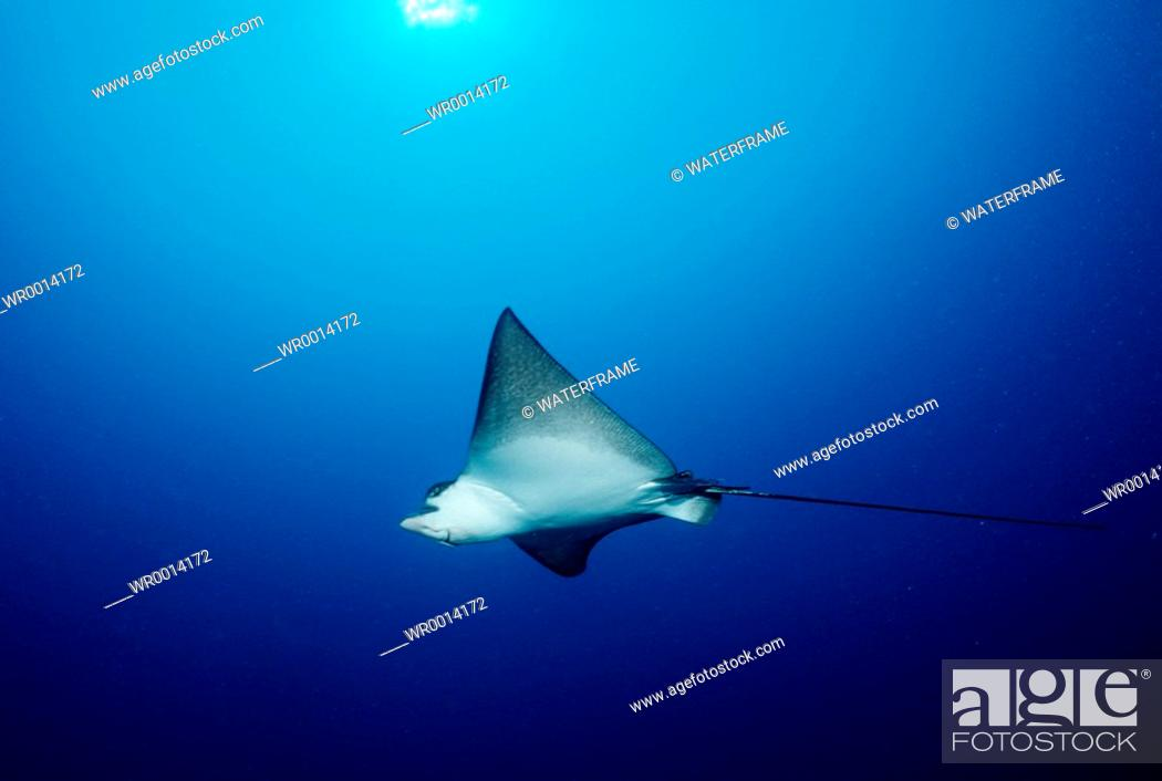 Imagen: Eagle Ray, Aetobatus narinari, Indian Ocean, Maldives Island.