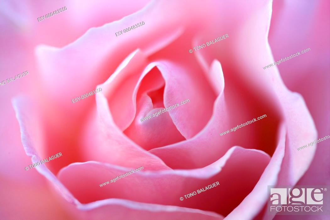Photo de stock: Colorful rose flower macro at the garden, outdoors.